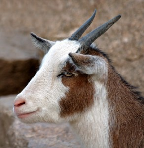 Not the brave loving goat, but a close proximity